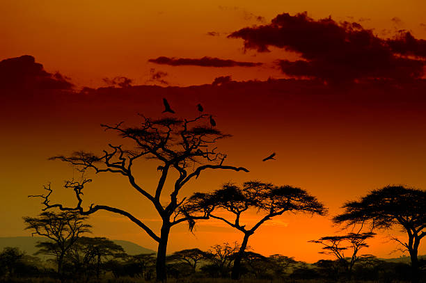 Marabou Storks landing on a tree at sunset, Serengeti, Africa