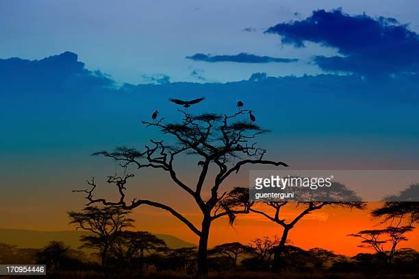 Marabou Storks landing on a tree at sunset, Serengeti, Africa