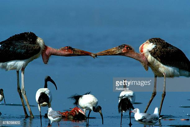 Marabou storks, Leptoptilos crumeniferus, tussling over food scraps with dead flamingo in the background and ibis beneath. Lake Bogoria, Rift Valley,...