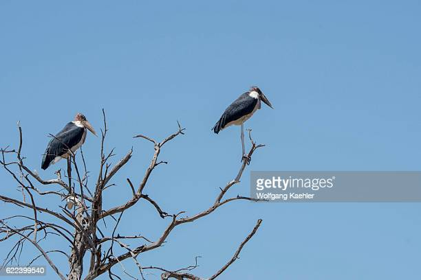 Marabou storks perched in a tree in the Masai Mara National Reserve in Kenya.