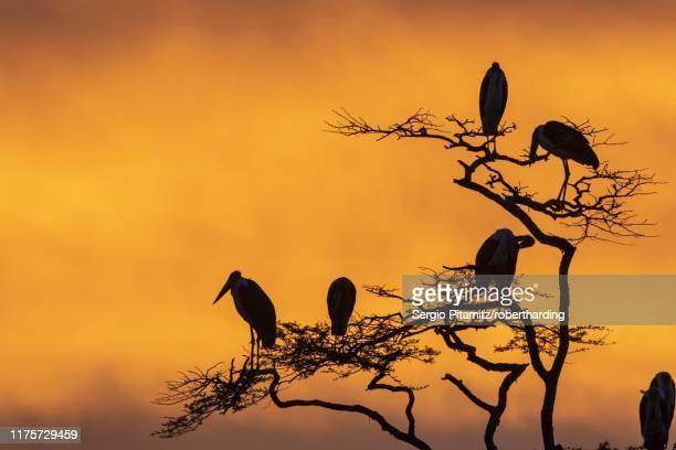 marabou storks (leptoptilos crumeniferus) perching on a tree at sunrise, tanzania, east africa, africa - marabout photos et images de collection