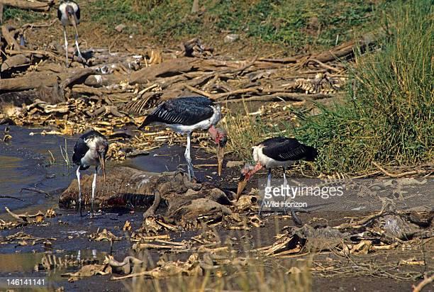 Marabou storks scavenging remains of wildebeest that drowned during migration across the Mara River Leptoptilos crumeniferus Maasai Mara National...