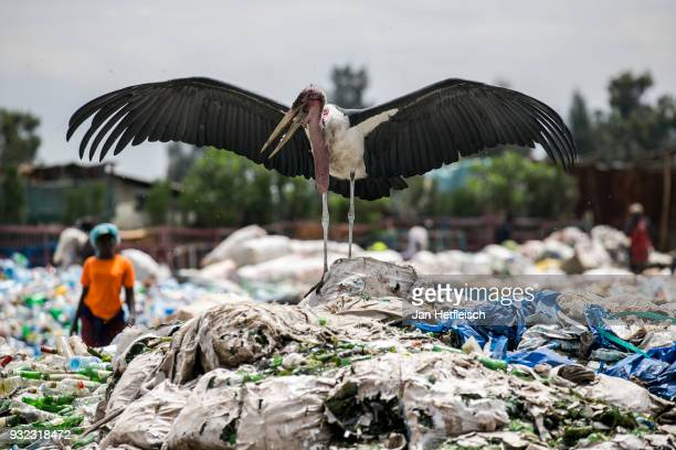 Marabu is seen on the Dandora Rubbish Dump on March 14 2018 in Nairobi Kenya The Dandora landfield is located 8 Kilometer east of the city center of...