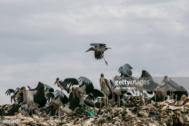 Marabus are seen on the Dandora rubbish dump on March 14 2018 in Nairobi Kenya The Dandora landfield is located 8 Kilometer east of the city center...