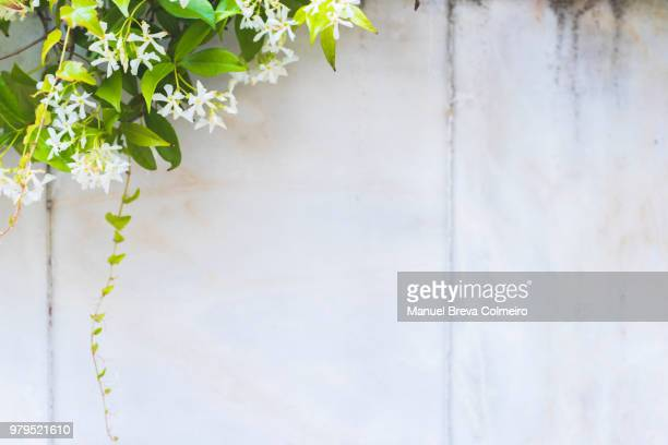 marble wall and jasmine - jasmine flower stock pictures, royalty-free photos & images