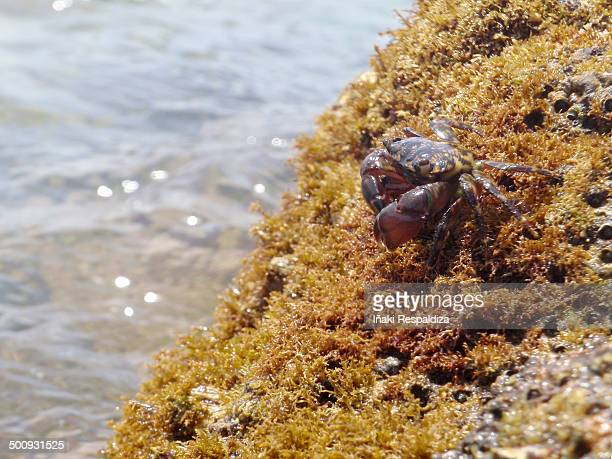 marbled crab - iñaki respaldiza stock pictures, royalty-free photos & images