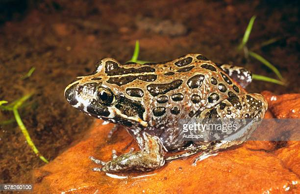 Marbled frog Limnodynastes convexiusculus about 45 mm long Fogg Dam Conservation Reserve near Humpty Doo Northern Territory Australia