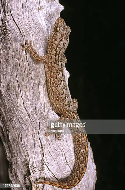 Marbled gecko, Christinus marmoratus, climbing tree, Cocklebiddy area, Western Australia