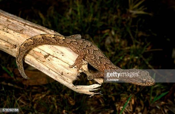 Marbled southern gecko, Christinus marmoratus, on log showing elegant markings, Mount Greenly, Eyre Peninsula, South Australia, Australia.