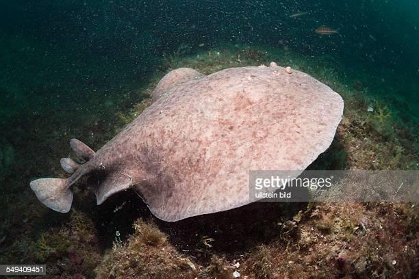 Marbled Torpedo Ray Torpedo marmorata Cap de Creus Costa Brava Spain