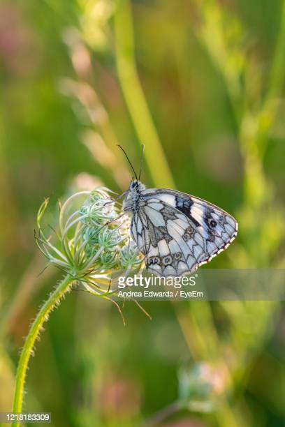 marbled white butterfly, melanargia galathea, resting on wildflowers in early evening dusk sunset - gras stock pictures, royalty-free photos & images