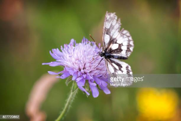 Marbled white butterfly on a field scabious, Barnack Hills and Holes Nature Reserve, Cambridgeshire, East Anglia, UK