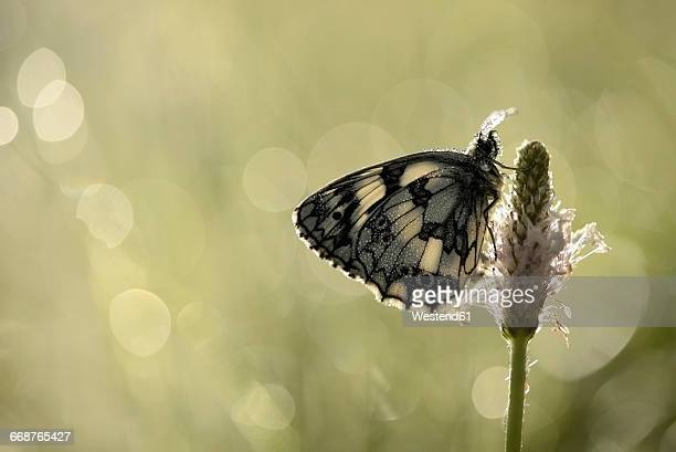 Marbled white hanging on blossom