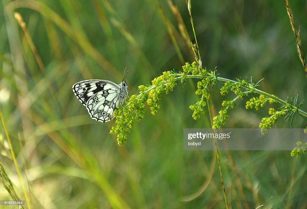 marbled white (Melanargia galathea) : Stock Photo