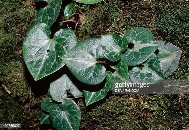 Marbled wild ginger Aristolochiaceae