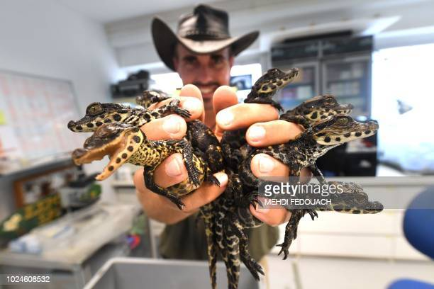 Marc Jaeger director of the Planet Exotica zoological and botanical garden holds West African dwarf crocodile hatchlings recently born in the parc on...