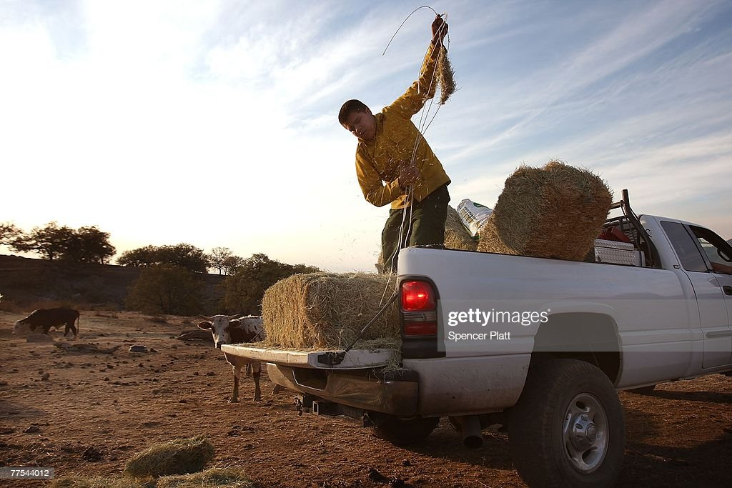 Marc Powell, a member of the La Jolla Indian Reservation Fire Department, feeds cattle after fire devastated most of the land on the reservation October 28, 2007 in La Jolla, California. Powell and colleagues have been checking on friends cattle as the reservation is still under a mandatory evacuation order due to fire in the area. The fire, which has led to the largest mass evacuation in California?s history, has burned nearly 500,000 acres and has an estimated cost to the state of $1 billion and taken a heavy toll on the county's agricultural industry.