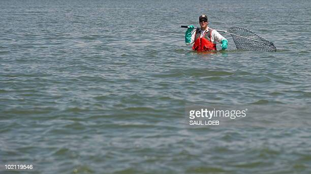 Marc Provencher a biologist with the US Fish and Wildlife Service and based in Anderson California looks for a brown pelican covered with oil from...