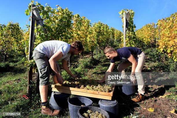 MarcAndré Hugel and his cousin Pierre Hugel carefully arrange Riesling grapes on drying mats as their family selectively harvests the iconic Alsace...