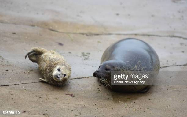 YANTAI March 1 2017 Newborn spotted seal cub plays with mother at seal bay of Yantai City east China's Shandong Province March 1 2017 Three seal cubs...