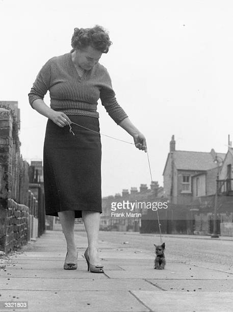 Connie Hutchin taking her tiny Yorkshire terrier for a walk in Walthamstow east London The dog measures five and a quarter inches in length