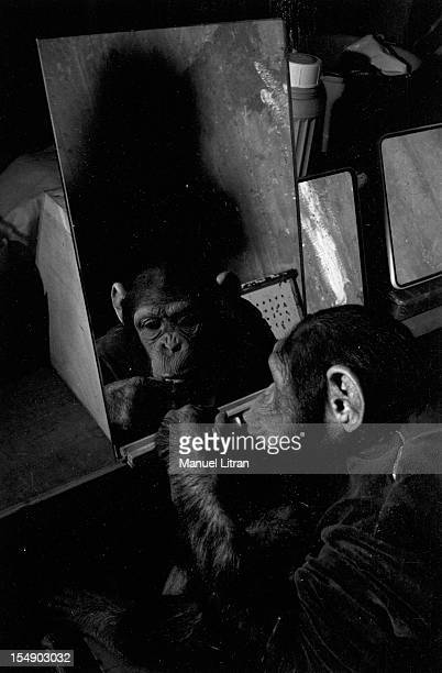 March 1967 monkeys Johnny and Judy stars of the show 'Holiday on Ice' in a caravan One of two chimpanzees looks in a mirror