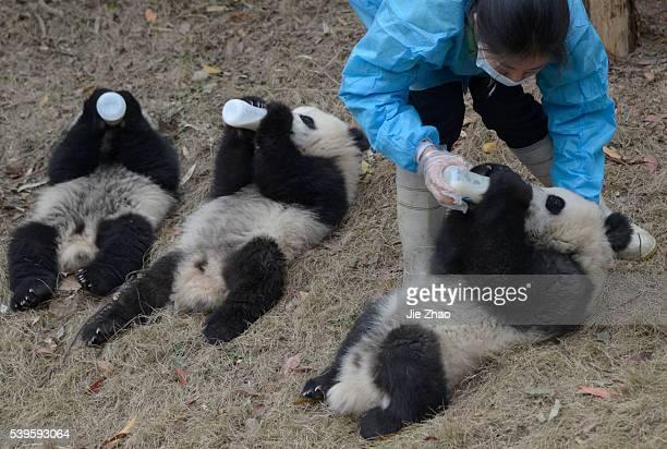 March 2 2015Chengdu China Giant Pandas drinks milk at Chengdu Research Base of Giant Panda Breedingthe in Chengdu Sichuan China