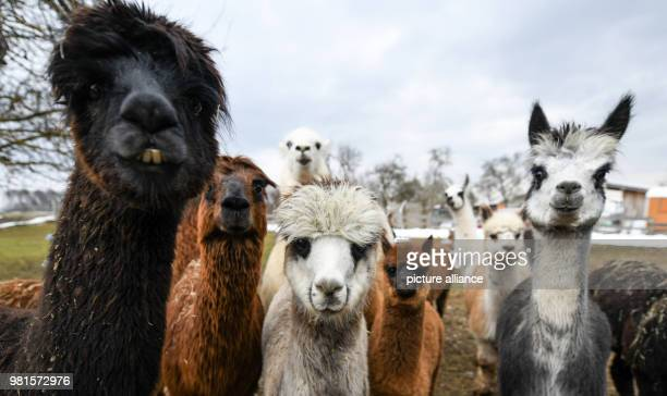 A group of alpacas stands in a farm in Engen Sabrina Pahoki has been keeping the animals from the South American Andes for years Photo Patrick...