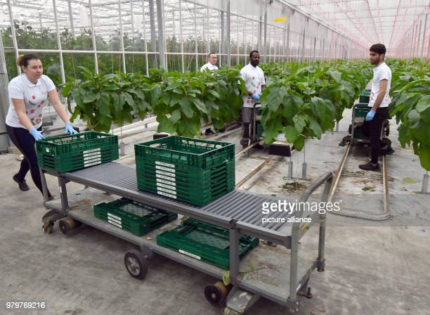 March 2018, Germany, Fretzdorf: Employees of the harvesting the first aubergines. This is the first time aubergines were planted on a large scale in...