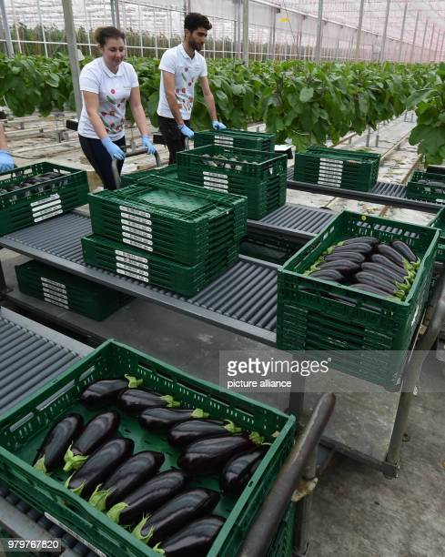 March 2018, Germany, Fretzdorf: Employees of the Havelia GmbH harvest the first aubergines. This is the first time aubergines were planted on a large...