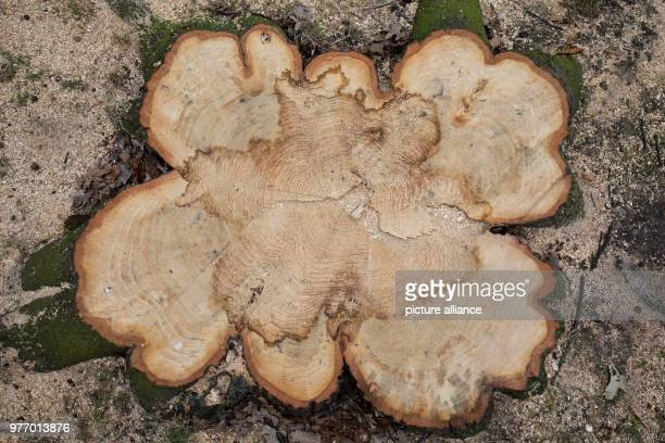 The stump of a felled chestnut in the Moorweide Park at the Dammtor station Some of the park's chestnut trees in front of the Dammtor station some...