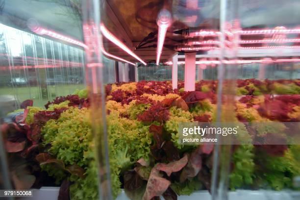 Lettuce heads in the Aquaponics research container of the Kassel fertilizer and salt producer KS AG Aquaponics refers to the nutrient cycle...