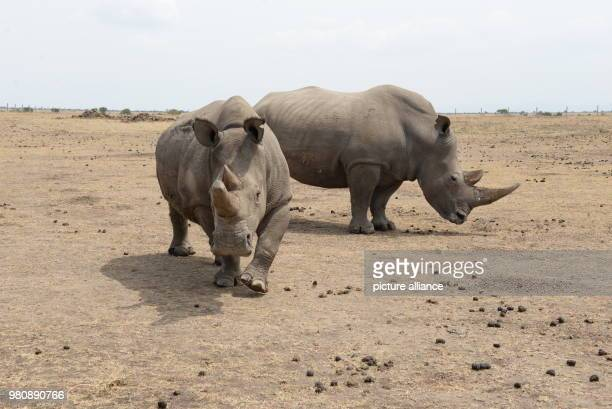 One of the last remaining female northern white rhinoceroses and the female southern white rhinoceros Tauwa standing beside each other at the wild...