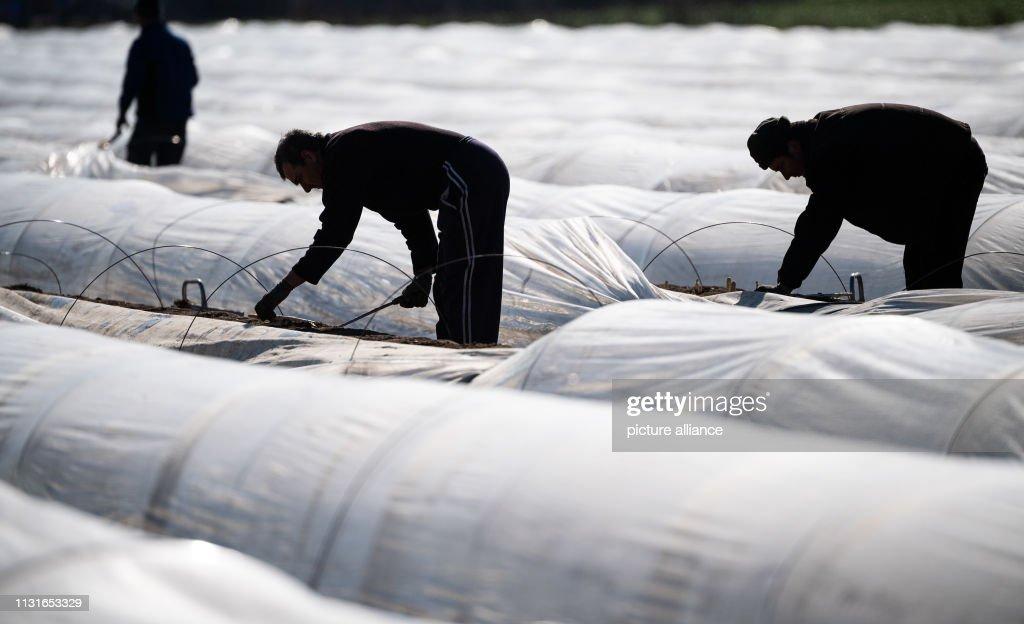 DEU: Asparagus Harvest At Bruchsal