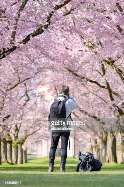 27 March 2019 BadenWuerttemberg Schwetzingen A visitor photographs flowering Japanese ornamental cherries in the castle garden Photo Uwe Anspach/dpa