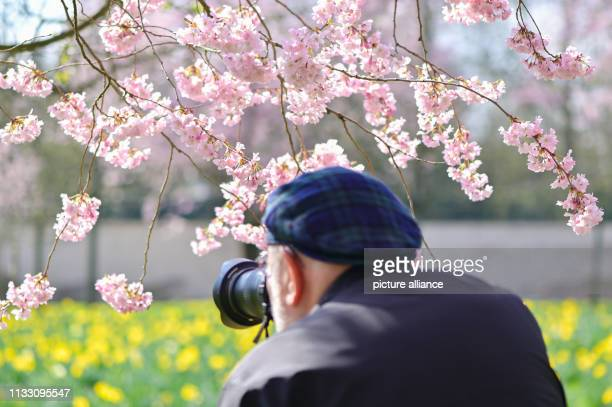 27 March 2019 BadenWuerttemberg Schwetzingen A visitor photographs the branch of a flowering Japanese ornamental cherry in the castle garden Photo...