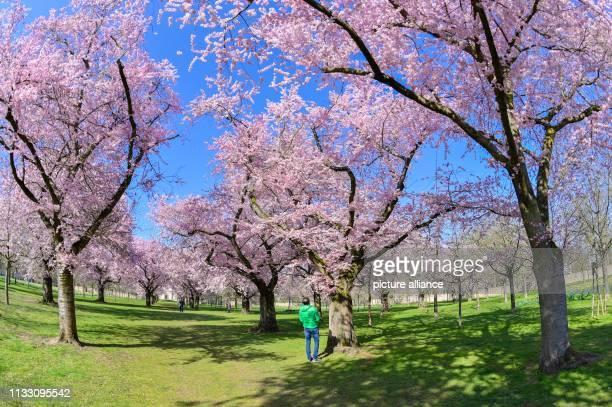 27 March 2019 BadenWuerttemberg Schwetzingen A visitor stands in the castle garden in front of flowering Japanese ornamental cherries Photo Uwe...