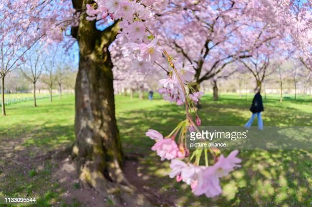 27 March 2019 BadenWuerttemberg Schwetzingen A visitor walks past flowering Japanese ornamental cherries in the castle garden Photo Uwe Anspach/dpa