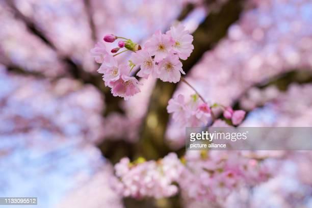 27 March 2019 BadenWuerttemberg Schwetzingen The branch of a flowering Japanese ornamental cherry hangs from a tree in the castle garden Photo Uwe...