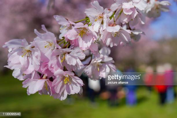 27 March 2019 BadenWuerttemberg Schwetzingen The branch of a flowering Japanese ornamental cherry hangs from a tree in the castle garden in front of...