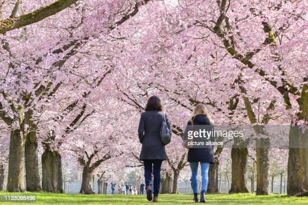 27 March 2019 BadenWuerttemberg Schwetzingen Visitors stroll in the castle garden under flowering Japanese ornamental cherries Photo Uwe Anspach/dpa