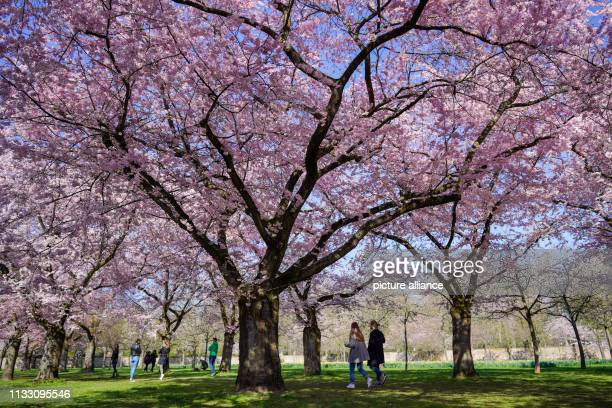 27 March 2019 BadenWuerttemberg Schwetzingen Visitors walk under flowering Japanese ornamental cherries in the castle garden Photo Uwe Anspach/dpa