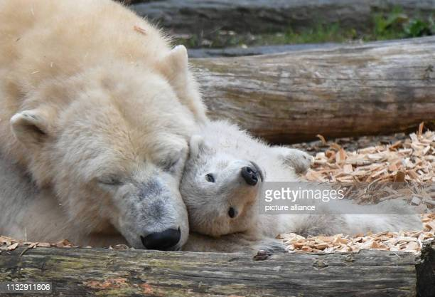 The little still nameless polar bear cuddles up with her mother Tonja in the Tierpark Berlin The polar bear girl was born on 1 December 2018 Photo...