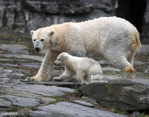 March 2019, Berlin: The little, still nameless polar bear is on an exploration tour with her mother Tonja in the Berlin Zoo. The polar bear girl was...