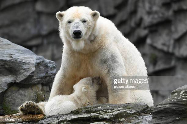 The little still nameless polar bear makes her first exploration tour in the zoo with her mother Tonja The polar bear girl was born three and a half...