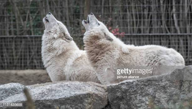 Two polar wolves howl in their enclosure in the zoo Photo Paul Zinken/dpa
