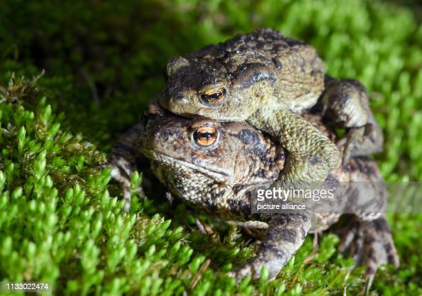 A pair of earth toads crawls across the ground at the edge of a small pond in the forest of the August Beer Foundation Due to the mild spring weather...