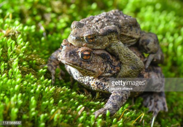 A pair of earth toads crawls over moss on the edge of a small pond in the forest of the August Beer Foundation Due to the mild spring weather the...