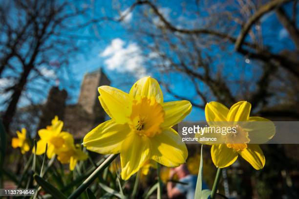 Easter bells bloom in the fortifications of Starkenburg Castle above Heppenheim on Bergstrasse Photo Andreas Arnold/dpa
