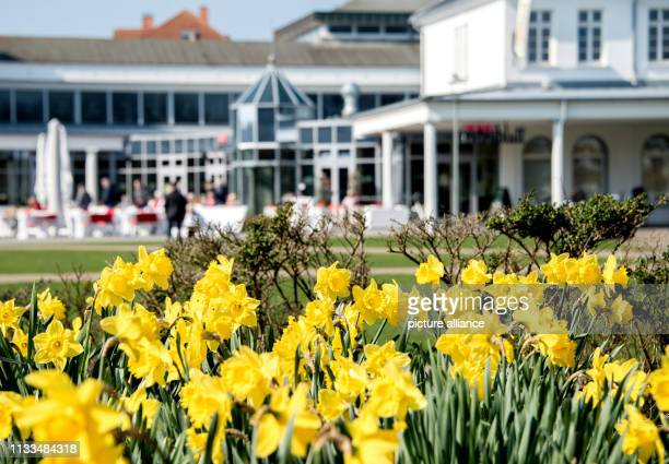 March 2019, Lower Saxony, Norderney: Easter bells bloom on the island's spa square. Spring weather in the interior and on the coast, temperatures...